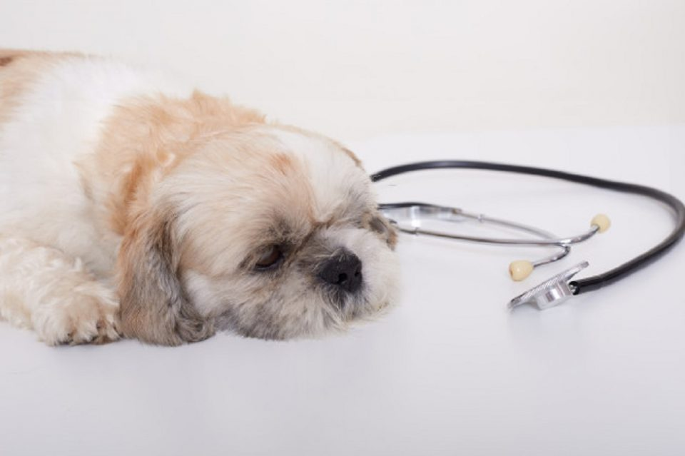 dog in pain